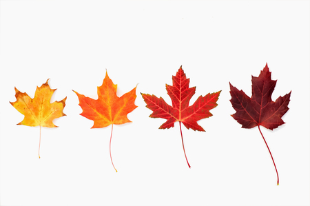 Four maple leaves arranged in a row Banco de Imagens