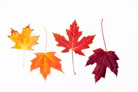 Four maple leaves arranged in a row photo