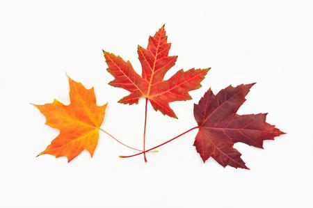 Three maple leaves arranged in fan shape