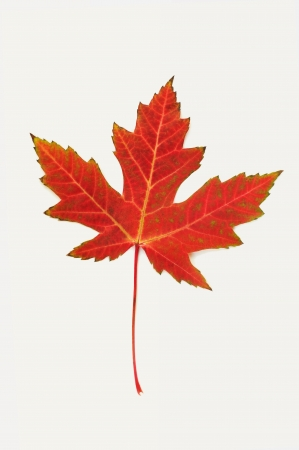 Red maple leaf in fall season photo