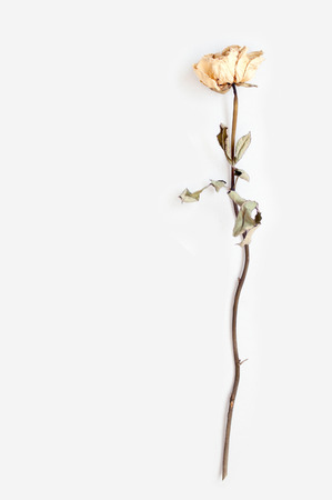 A whithered white rose with shodow on white background