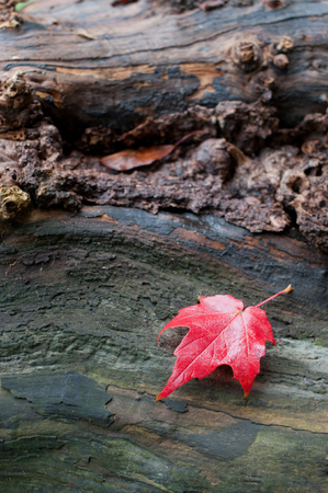 Autumn red maple leaf on a piece of wood Stock Photo - 24724816