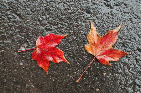 Maple leaves on wet road Stock Photo - 24724817