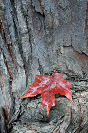 Red maple leaf on a piece of wood Stock Photo