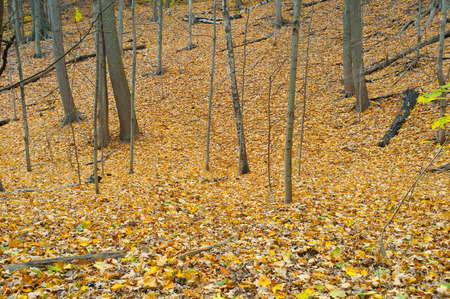 Autumn forest with yellow maple trees and colorful foliage in hiking trail, Toronto photo