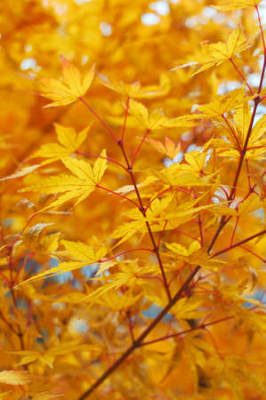 Maple leaves during autumn Stock Photo