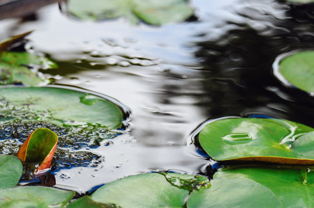 Water lily leaves on calm water surface Stock Photo