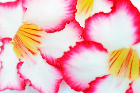 Close-Up of Desert Roses Stock Photo