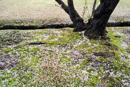 Petals of Cherry Trees on Ground