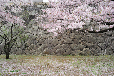 Petals Of The Cherry Trees and Wall of Himeji Castle, Japan