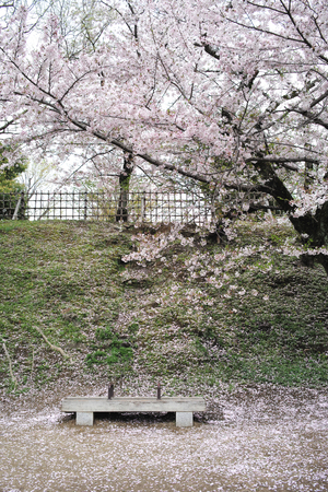 A Wooden Bench and Petals of Cherry Trees on Ground, Himeji, Japan
