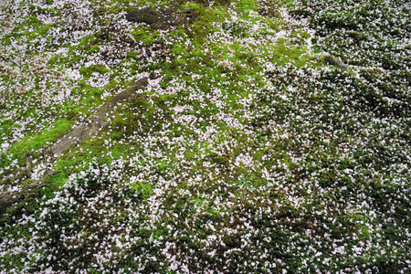 Petals of Cherry Trees on Moss Background Stock Photo