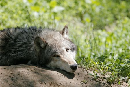 presence: A Grey Wolf is aware of someones presence Stock Photo