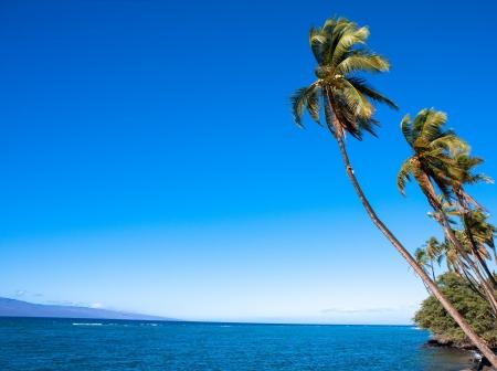 Hawaiian palm tree near Lahaina, Maui