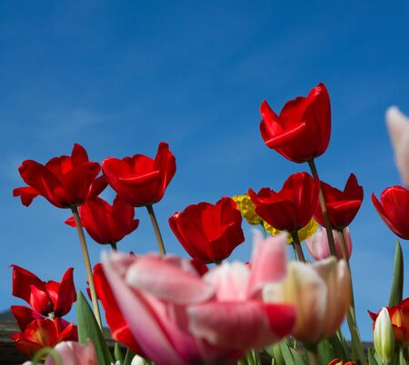 Closeup of rows of red, pink, white, yellow tulips as seen from the side, with ample copy space in blue sky above flowers Reklamní fotografie