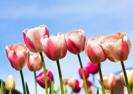 Closeup of rows of pink, white, yellow, and purple tulips as seen from the side, with ample copy space in blue sky above flowers