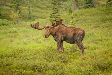 Moose with antlers staring at viewer while standing in a meadow in Denali National Park, Alaska, USA. Moose is off to right of frame, ample copy space