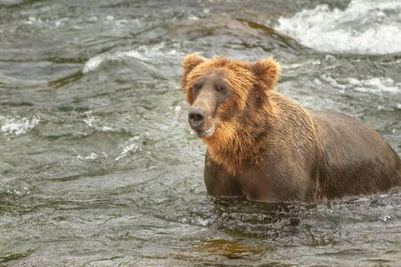 A single grizzly bear in a river in Alaska, USA. The bears legs are underwater and the bear looks as if it is smiling. Ample copy space for text.