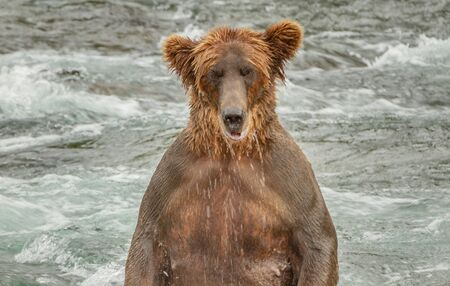 A closeup of a single brown grizzly bear standing in a river in Alaska, USA. The bears legs are underwater and the bear looks menacingly at the viewer Reklamní fotografie