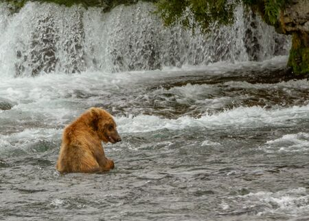 Single grizzly bear sitting in a river in Alaska fishing for salmon with a waterfall in the background.