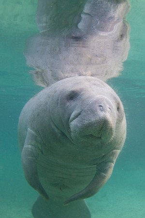 Manatee Underwater Stock Photo