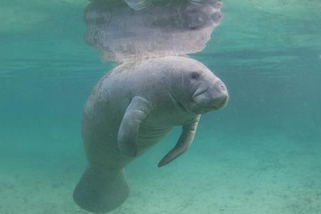 Manatee Underwater Standard-Bild
