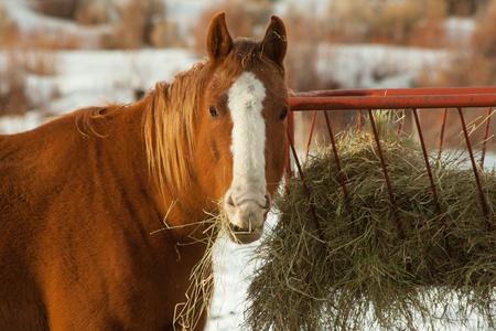 Horse eating hay in winter Reklamní fotografie