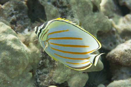 Ornate Butterflyfish off Kona, Big Island, Hawaii