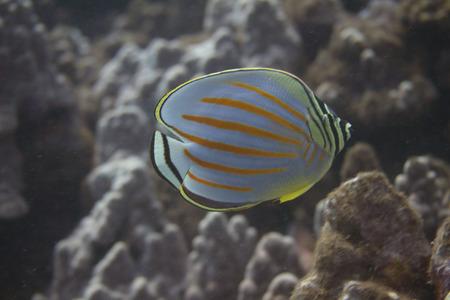 Ornate Butterflyfish off Maui, Hawaii Stock Photo