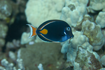 Achilles Tang on Coral Reef off Maui, Hawaii