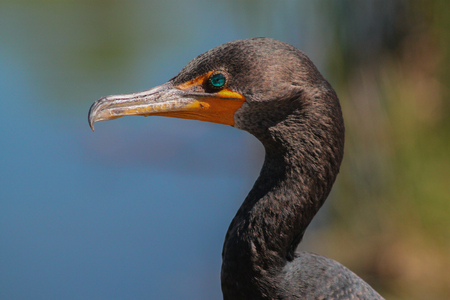 Double-crested Cormorant in Florida Everglades