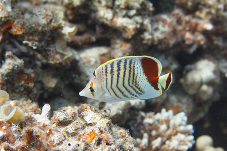 Crown Butterflyfish on Coral Reef in Red Sea off Dahab, Egypt Stock Photo