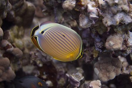 Oval Butterflyfish on Coral Reef off Puako, Big Island, Hawaii