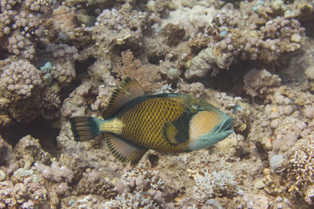 Titan Triggerfish on Coral Reef in Red Sea off Sharm el Sheikh, Egypt