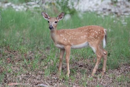 Endangered Key Deer Fawn on Big Pine Key in the Florida Keys