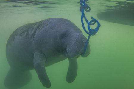 Endangered Florida Manatee eating algae off a blue rope in the water in Crystal River, Florida Stock Photo