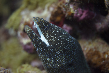 Whitemouth Moray Eel on Coral Reef off Maui, Hawaii