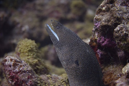 Whitemouth Moray Eel on Coral Reef off Maui, Hawaii Reklamní fotografie - 114594619