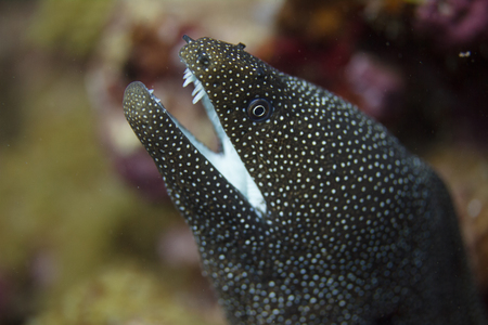 Whitemouth Moray Eel on Coral Reef off Maui, Hawaii Reklamní fotografie - 114594596