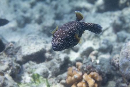 Guineafowl Puffer on Coral Reef off Kona, the Big Island, Hawaii Imagens