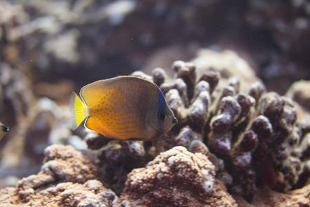 Sunburst Butterflyfish on Coral Reef off Maui, Hawaii