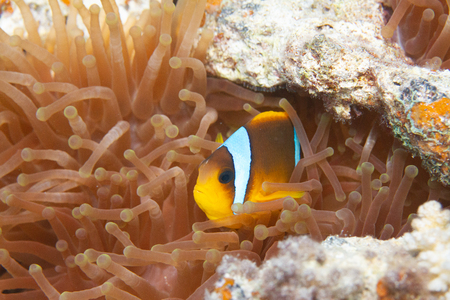 Red Sea Anemonefish in Bubble-Tip Anemone in Red Sea off Dahab, Egypt