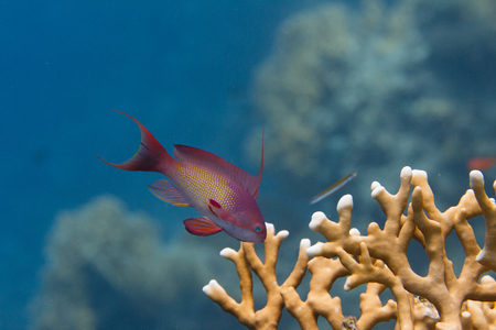 Lyretail Anthias over Net Fire Coral on Coral Reef in Red Sea off Dahab, Egypt