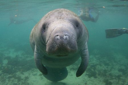 Endangered Florida Manatee Underwater with Snorkelers in Background Stock Photo
