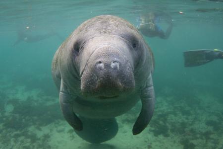 Manatí de Florida en peligro de extinción bajo el agua con buceadores en segundo plano.
