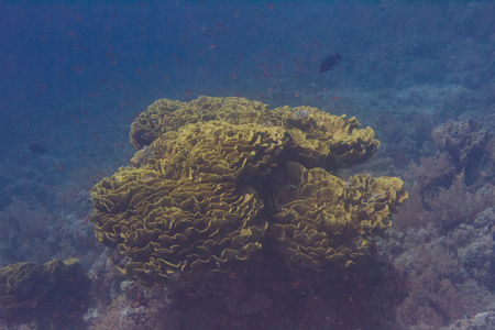 Yellow Leafy Cup Coral on Coral Reef in Red Sea off Sharm El Sheikh, Egypt Stock Photo