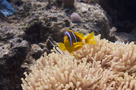 Red Sea Anemonefish in Ritteri Anemone on Coral Reef in Red Sea off Sharm El Sheikh Stock Photo