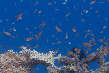 Lyretail Anthias, Arabian Chromis, and Lunar Fusilier over Table Coral on Coral Reef in Red Sea off Dahab, Egypt