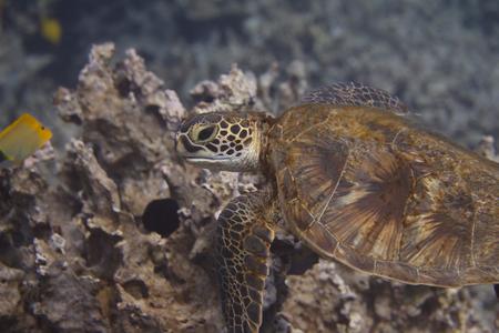 Green Sea Turtle (Honu) on Coral Reef off The Big Island, Hawaii