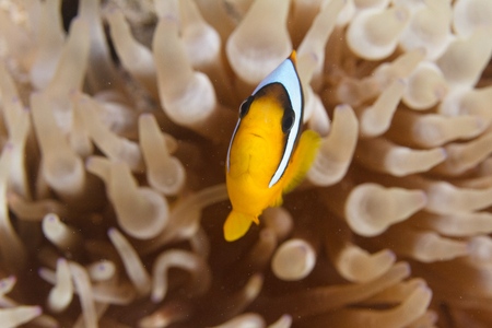 Red Sea Anemonefish in Bubble-Tip Anemone on Coral Reef in Red Sea off Sharm El Sheikh, Egypt Stock Photo